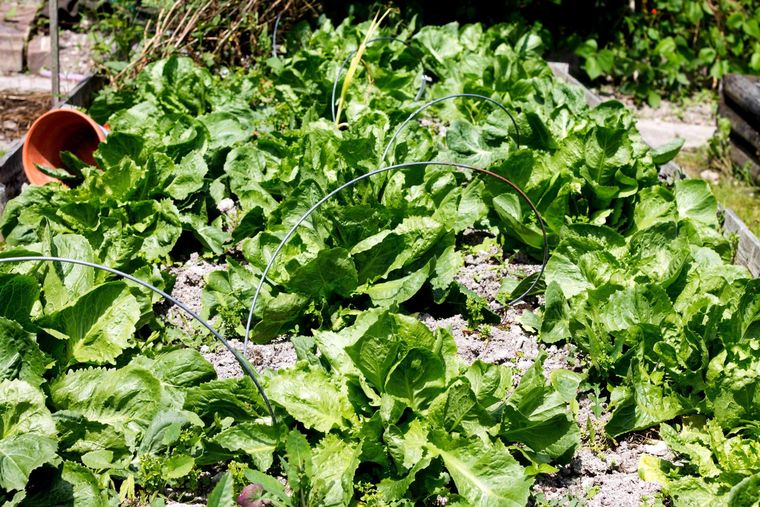 escarole growing in a garden