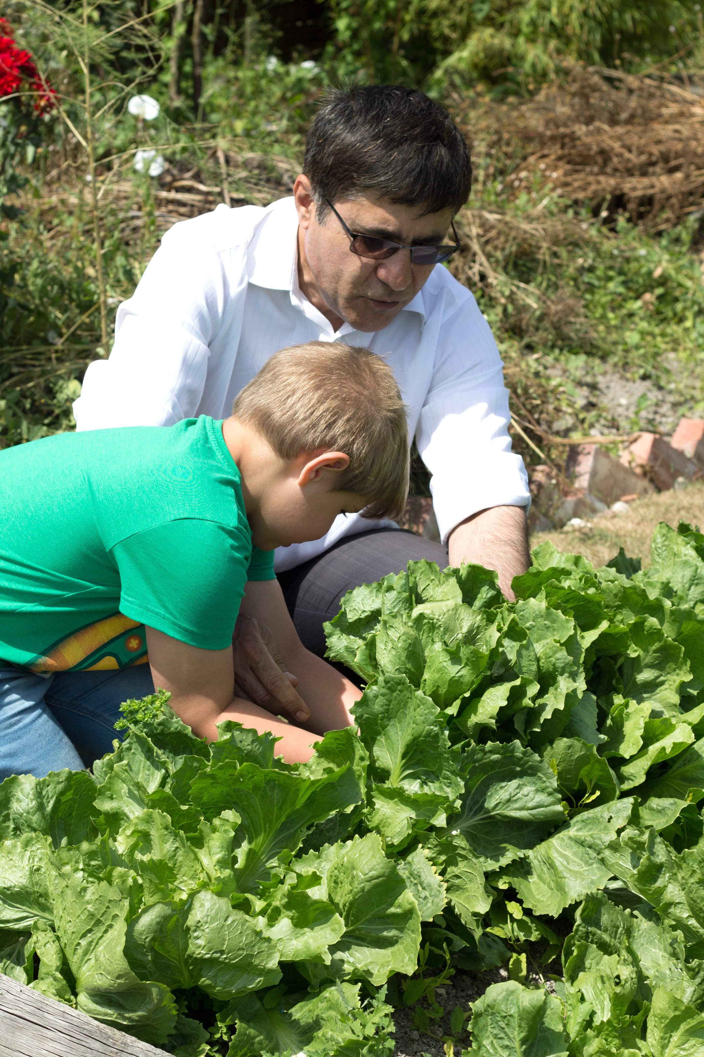 My son and neighbour picking the escarole