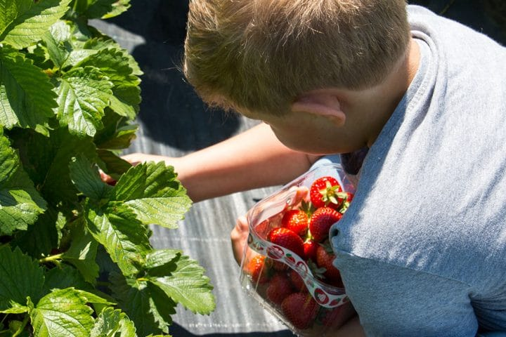 Strawberries being picked from the plant