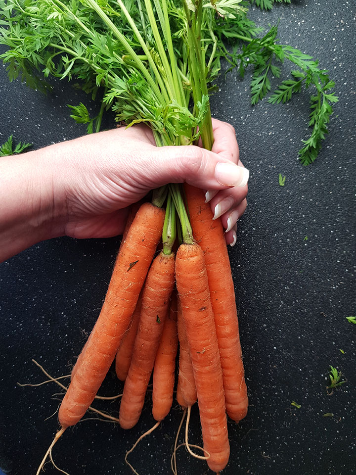 A hand holding a bunch of fresh picked carrots