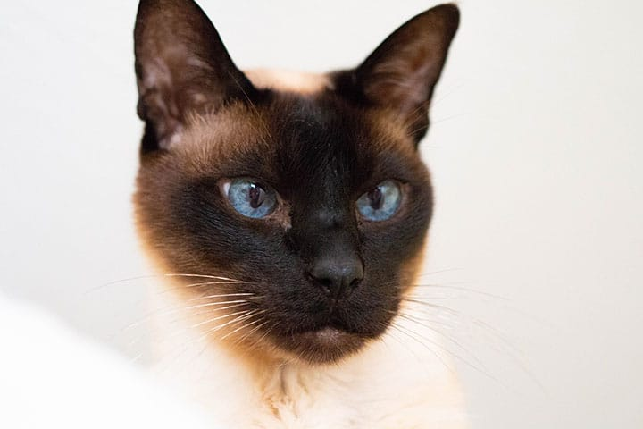 A close up of a cat with a black face and blue eyes
